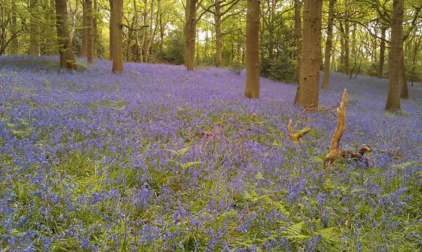 RT A wood near Bromsgrove yesterday. The colour & scent were amazing! @WoodlandTrust  - embedded image