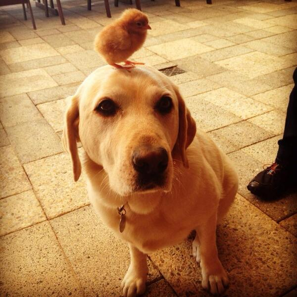 RT Puppy wearing a chick for a hat.  - embedded image