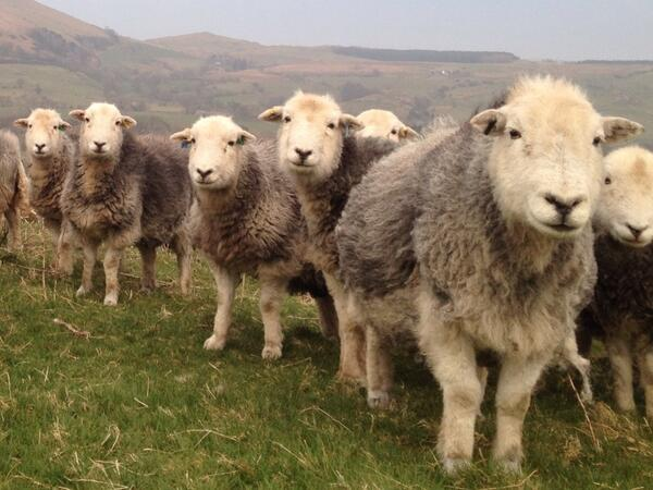 Bellies full of lambs. Due to kick off this week... http://t.co/eZfvxOtStP - embedded image