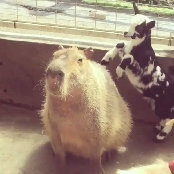 RT Capybaras are truly the world's chillest animal  - embedded image