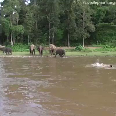 RT A man was swimming & an Elephant thought he was in trouble & rushed over to save him. Such amazing creatures.   - embedded image