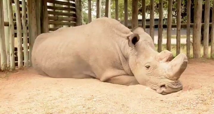 RT Want to know what extinction looks like? This is the last male Northern White Rhino. The Last. Nevermore  - embedded image
