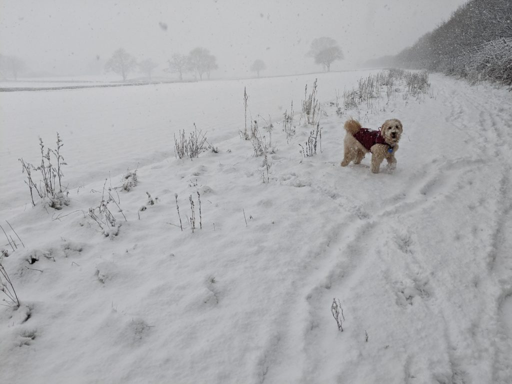 Pickle the dog, with some snow
